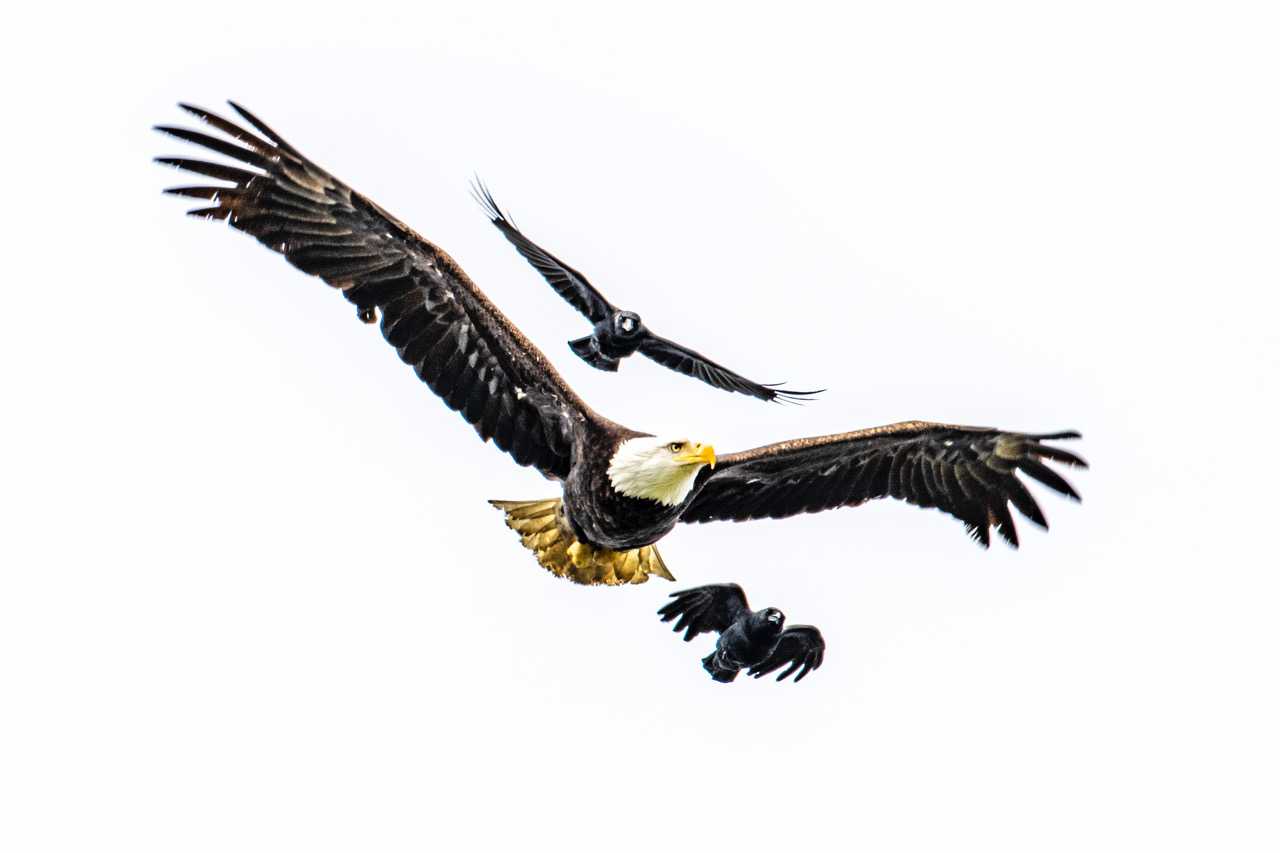 PHOTOS: Bald eagles battle crows in skies above Burien 1